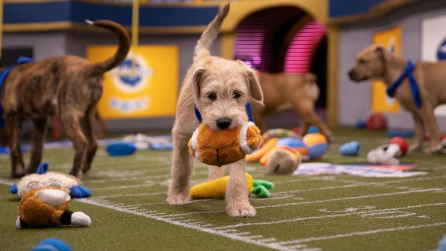 A pup carries a football during the 2021 Puppy Bowl, hosted by Animal Planet during the Super Bowl on February 7. More than mere entertainment, the Puppy Bowl helps to find